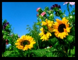 tournesol, photos, wallpapers